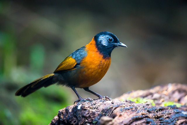 Collared Laughing-thrush, 7 endemic birds of Vietnam in Dalat