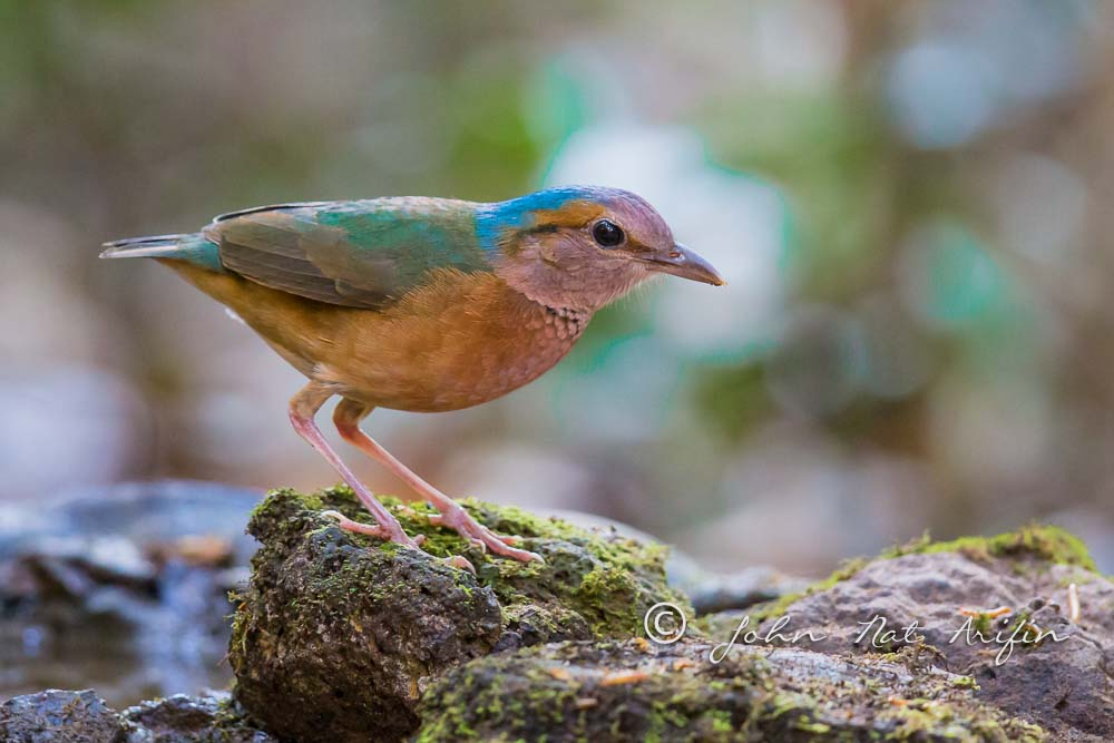 Blue-rumped Pitta a regional endemic bird in south Vietnam