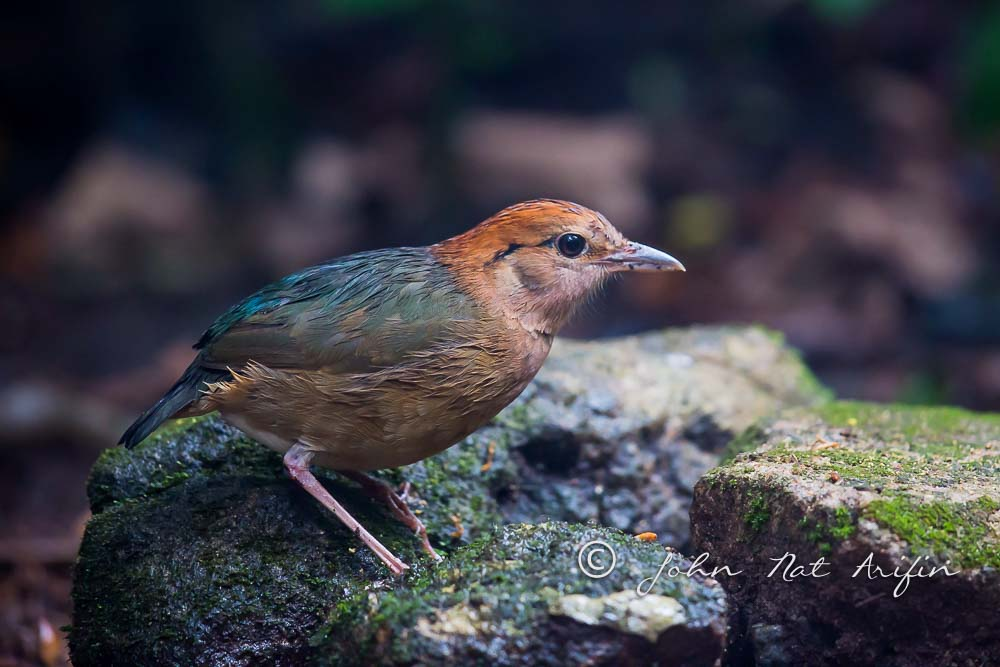 Rusty-naped Pitta a regional endemic bird in south Vietnam