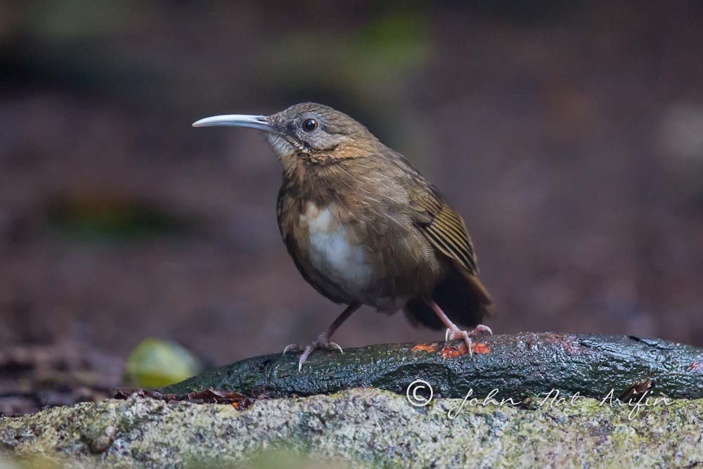 Indochinese Wren-babbler a regional endemic bird in south Vietnam