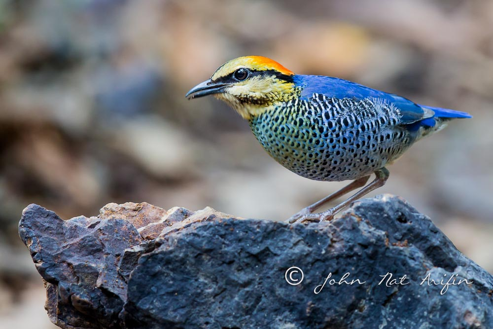 Blue Pitta regional endemic bird in south Vietnam