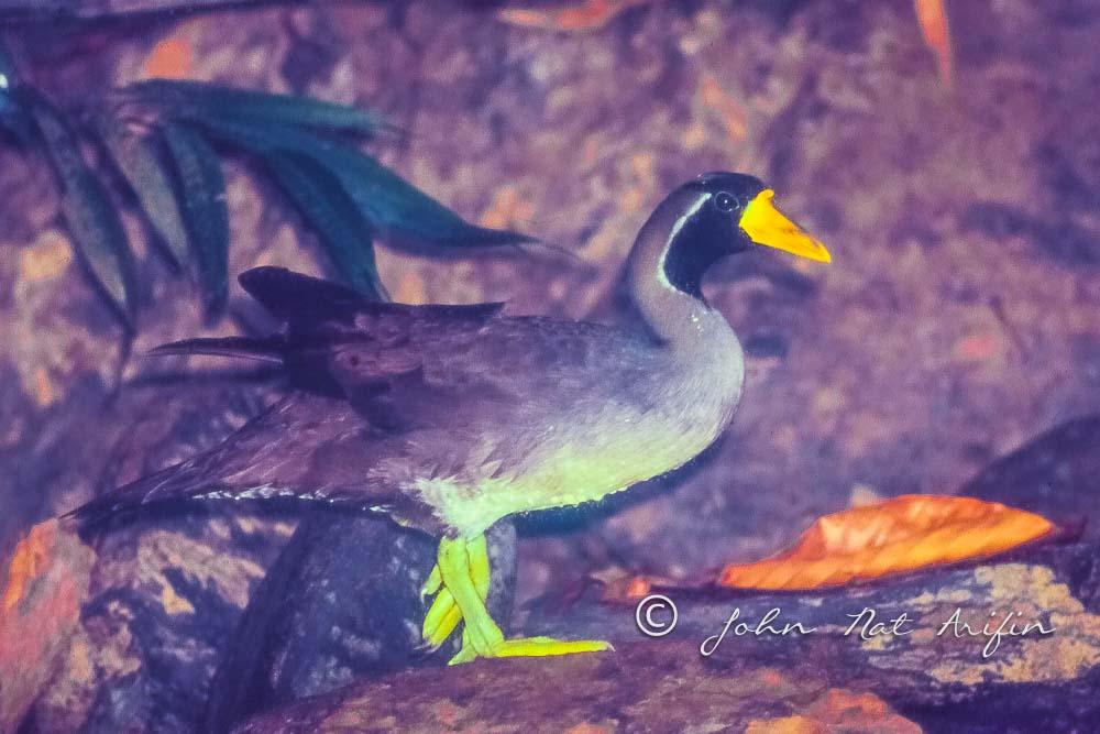 Masked Finfoot rare bird sighting  in 1992 Malaysia