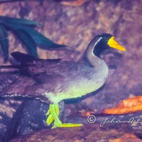 Masked Finfoot| Early sighting in 1992| Malaysia