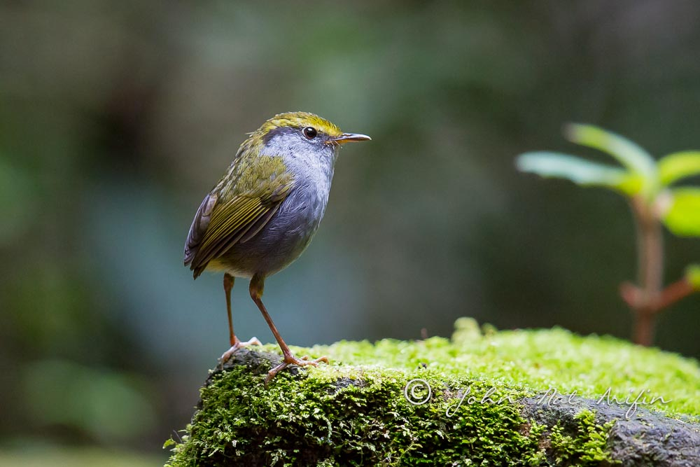 Gey-bellied Tesia regional endemic bird in south Vietnam