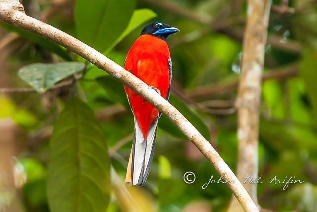 Scarlet-rumped Trogon in Kubah National Park by day near the frog pond.