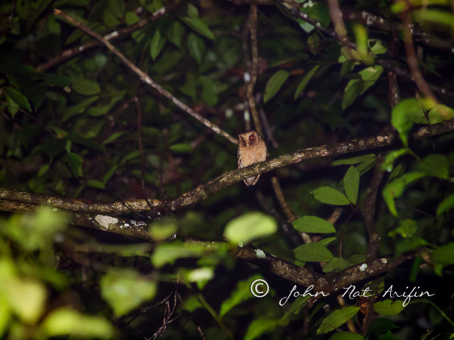 Photographing bird with your ears. Reddish Scops Owl in Kubah National Park.