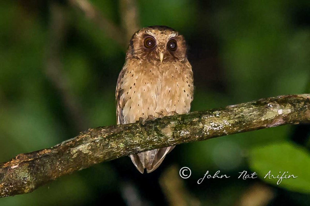 Photographing birds with your ear. Reddish Scops Owl