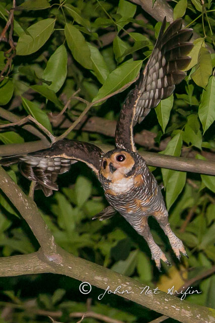 Spotted wood owl Orchard Road Singapore