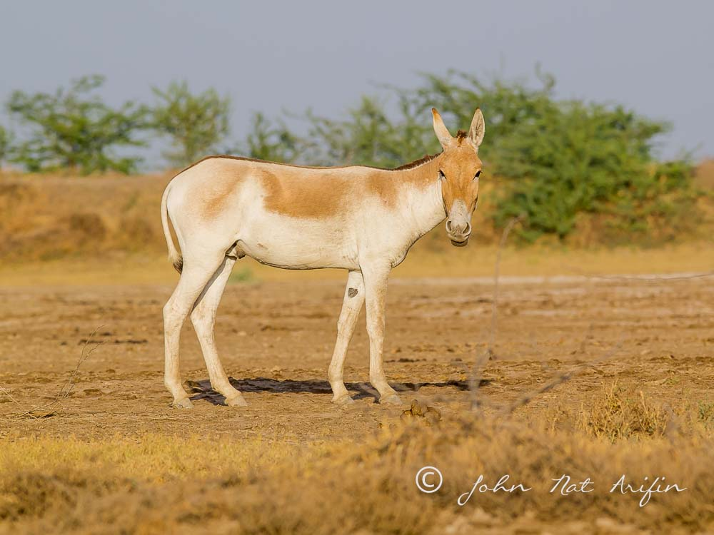 Asiatic Wild Ass. Photographing Birds In Gujarat|Kutch District|India