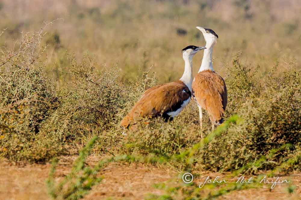 Great Indian Bastards. Photographing Birds In Gujarat|Kutch District|India