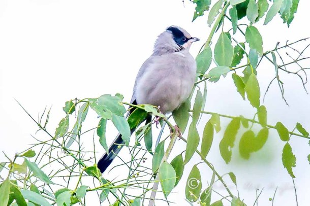 Grey Hypocolius. Photographing Birds In Gujarat|Kutch District|India