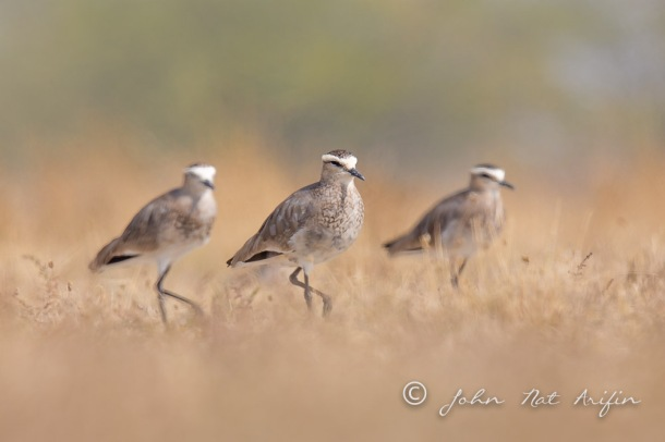 Sociable Lapwing. Photographing Birds In Gujarat|Kutch District|India