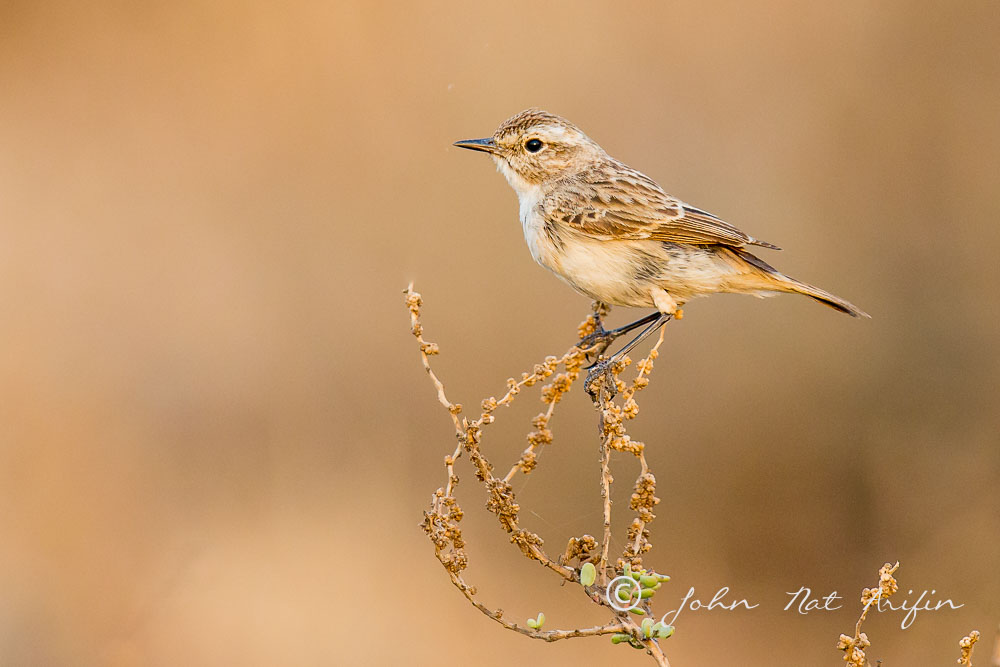 Stoliczka's Bushchat. Photographing Birds In Gujarat|Kutch District|India