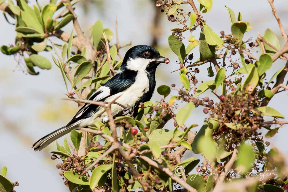 White-Named Tit. Photographing Birds In Gujarat|Kutch District|India