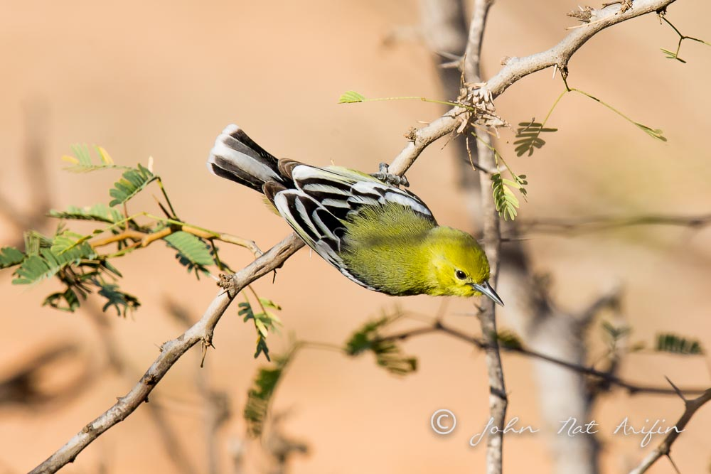 White-tailed Iora or Marshall's iora. Photographing Birds In Gujarat|Kutch District|India