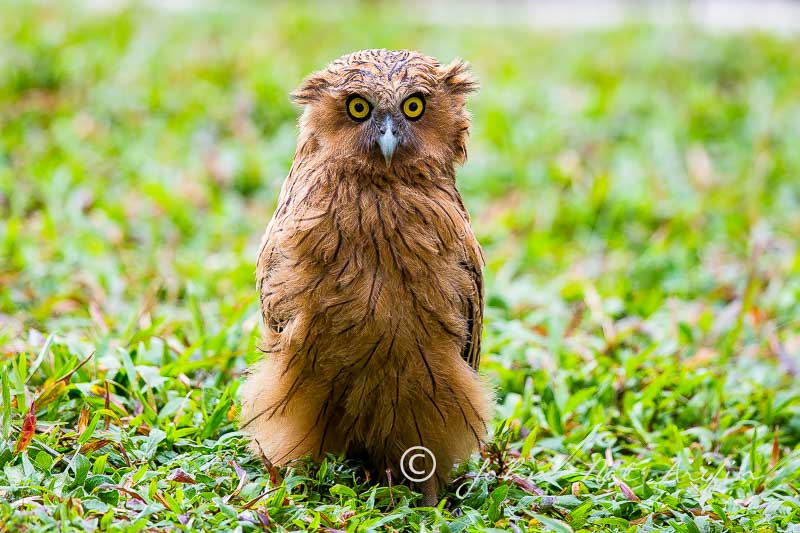 Buffy Fish Owl Fledged| Rescued and reunited with Parents | Hampstead Wetlands Park Singapore
