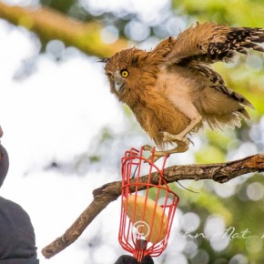 Buffy Fish Owl Fledged| Rescued and reunited with Parents | Hampstead Wetlands ParkSingapore.