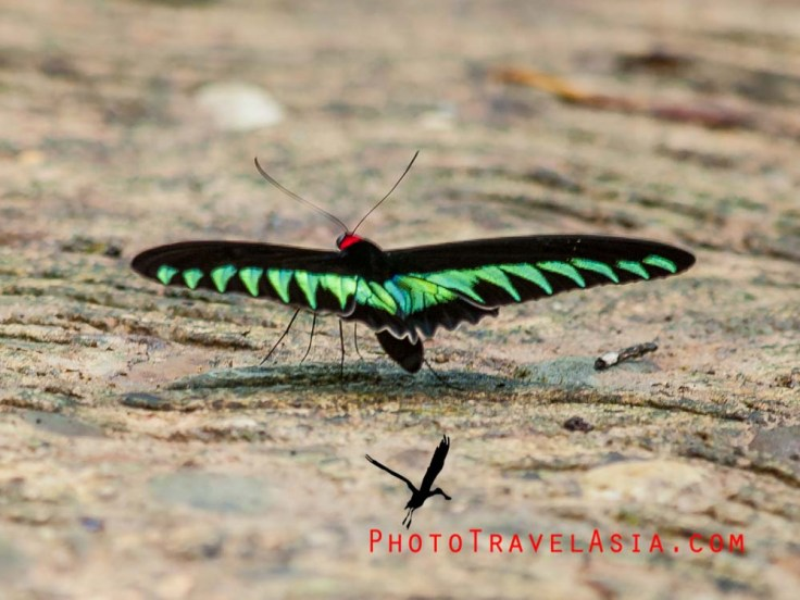 Rja Brooke's Birdwing butterfly