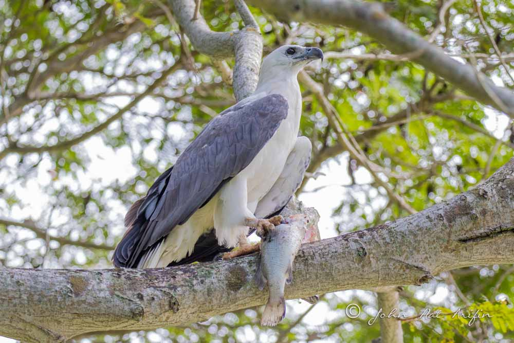 Changeable Hawk Eagle and White-bellied Sea Eagle in Pasir Ris Park Singapore